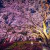 夜桜仰ぎ見る HDR