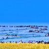 青い雪原 ネモフィラと菜の花