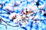 青い桜のオーラ