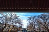 開幕 春の祭典 桜花