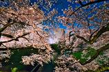 桜花に包まれる