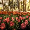 彩の花園 -チューリップ音色の彩