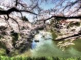 桜  - 彩の印象詩