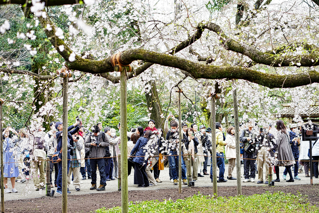 枝垂れ桜に悲喜こもごもする人達