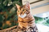 ここは宮島・・なんでベンガル猫?