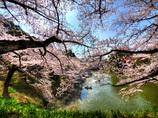 千鳥ヶ淵の桜花絢爛