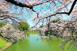 千鳥ヶ淵 桜奏でる白
