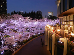 夜桜を愛でつつ