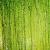 緑のシャワー