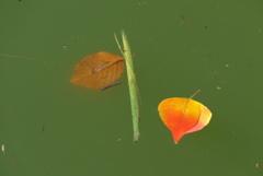 池に浮かぶ (1)