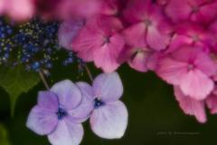 花色季節 2018アジサイ#15