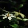 花色季節 クチナシ