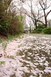花色季節 さくら風景#24