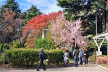 12月桜咲く#1