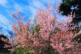 12月桜咲く#2 枝ぶり