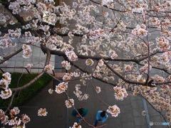 上から見る桜