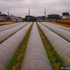静岡のレタス畑