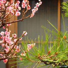 梅と松がある庭