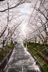 かの有名な桜坂