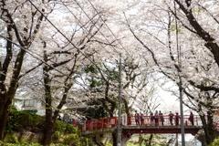 桜スコール