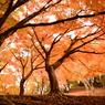 紅い秋のモミジ