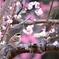 ミヤマの花見
