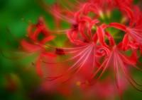SONY ILCE-7RM2で撮影した(炎花)の写真(画像)