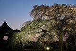夕暮れ枝垂れ桜