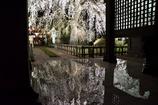 水鏡枝垂れ桜
