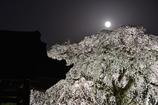 月光枝垂れ桜