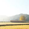 NIKON NIKON D7100で撮影した(大銀杏輝く)の写真(画像)