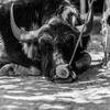 水牛の一休み