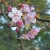 ♪近所の河津桜~逗子