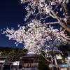 夜桜をオリオンと共に