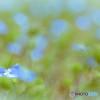 春色~大犬のフグリ~