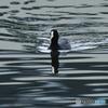 遊水池で「オオバン」