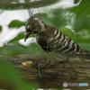 いつもの公園「啄木鳥(キツツキ)」(コゲラ)(2)