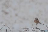 雪の日(ホオジロ)