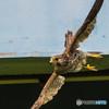 翼(チョウゲンボウ)(1)