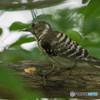 いつもの公園「啄木鳥(キツツキ)」(コゲラ)(3)