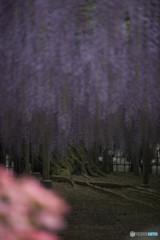 「華降る宙(足利フラワーパーク)(10)」