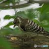 いつもの公園「啄木鳥(キツツキ)」(コゲラ)(4)
