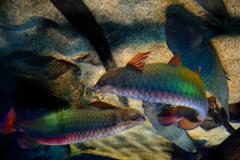 古代魚たちの宴