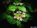 フロインドリーブの庭     紫陽花