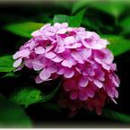 SONY ILCE-7で撮影した( 神戸の紫陽花)の写真(画像)