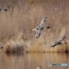 オナガガモの飛翔