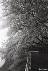 monochrome sakura 2