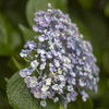 雨上がりの紫陽花