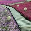 東京ドイツ村の芝桜はきれいだった