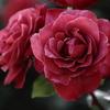 チョコレート色のバラ②